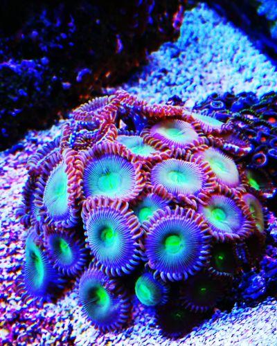 Frag Sea Life Coral Soft Coral Underwater Aquarium Realreef Reeftank