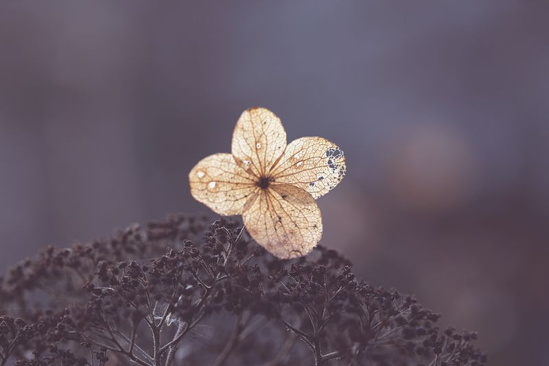 Nature Beautiful Macro Ethereal Beauty In Nature Close-up Flower No People Fragility Outdoors Flower Head Focus On Foreground Autumn Fall Flowers Hydrangea Echoes