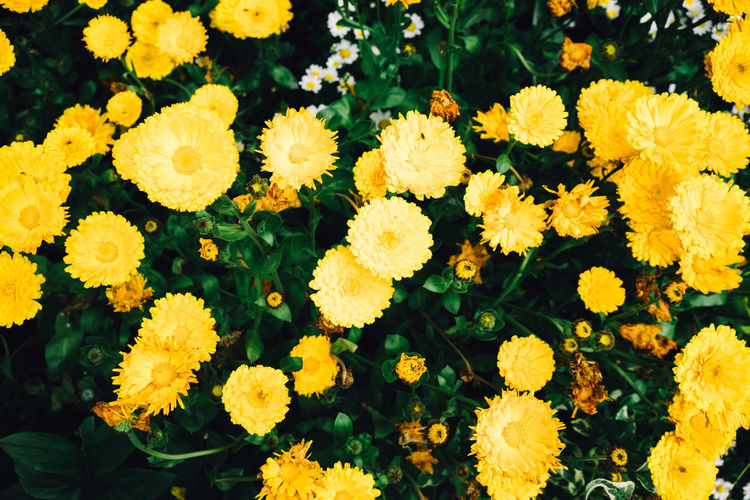 Flowering Plant Flower Yellow Plant Freshness Vulnerability  Fragility Flower Head Beauty In Nature Growth Inflorescence Petal Nature Close-up Day No People High Angle View Outdoors Botany Marigold Springtime