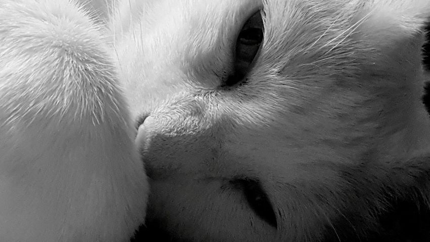Shades Of Grey Kitty Close Up Looking Eyes Blackandwhite Photography Black And White My Kitty