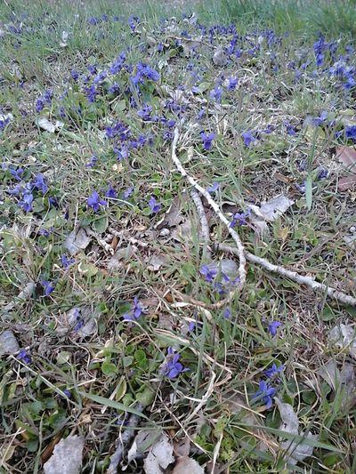 Parc De Lorient Violettes Flowers