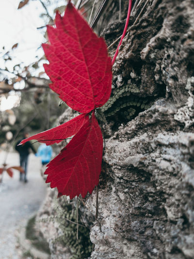 Close-up of red leaf on tree trunk