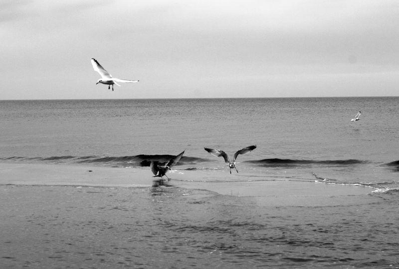 EyeEm Birds Birds In Flight Sea Blackandwhite Beutiful  Landscape_Collection Waves