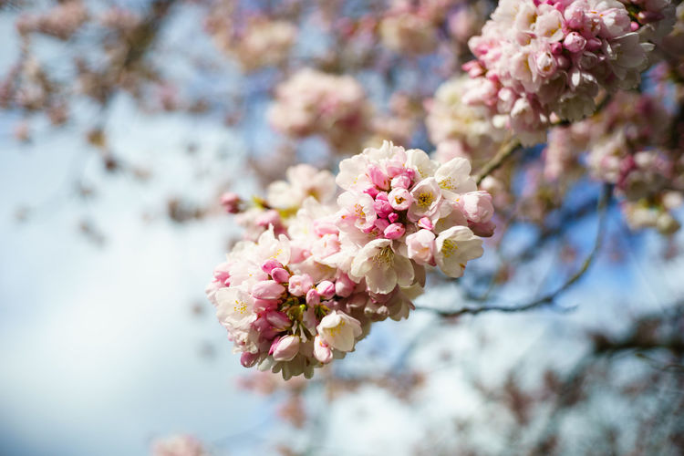 Close-up of pink cherry blossoms against sky