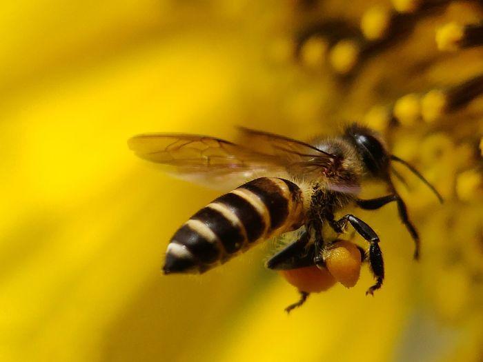 Honey bee 🐝 Sunflowers🌻 Sunflower Bee Insect Close-up Animal Themes Honey Bee Wasp Honeycomb Honey Petal Stamen Flower Head Blooming