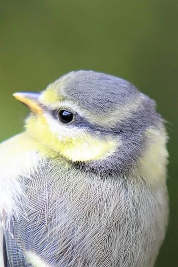 Animal Wildlife Animals In The Wild Baby Blue Titmouse Beak Bird Close Up Close-up Downy Feathers Focus On Foreground