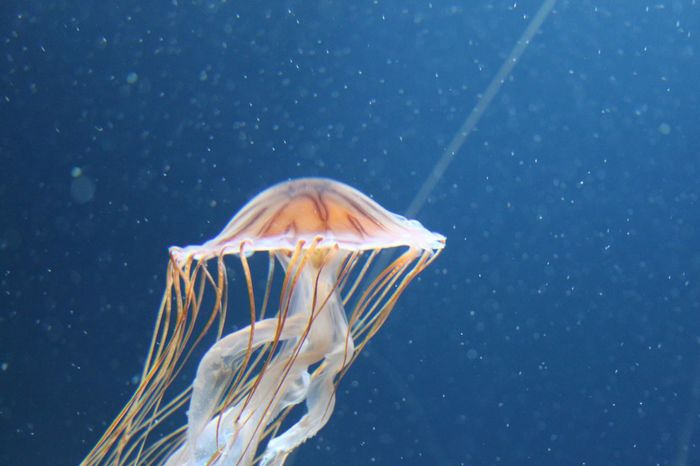 EyeEm Selects Sea Life Animals In The Wild Underwater Animal Wildlife Sea Marine Jellyfish One Animal Animal Themes Animal UnderSea Invertebrate Water Nature Blue Swimming Blue Background Close-up