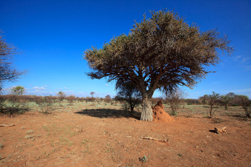Beauty In Nature Blue Branch Clear Sky Countryside Day Domestic Animals Field Growth Horizon Over Land Landscape Madikwe National Park Nature Non-urban Scene Outdoors Remote Savannah Scenics Solitude South Africa Tranquil Scene Tranquility Tree Tree Trunk