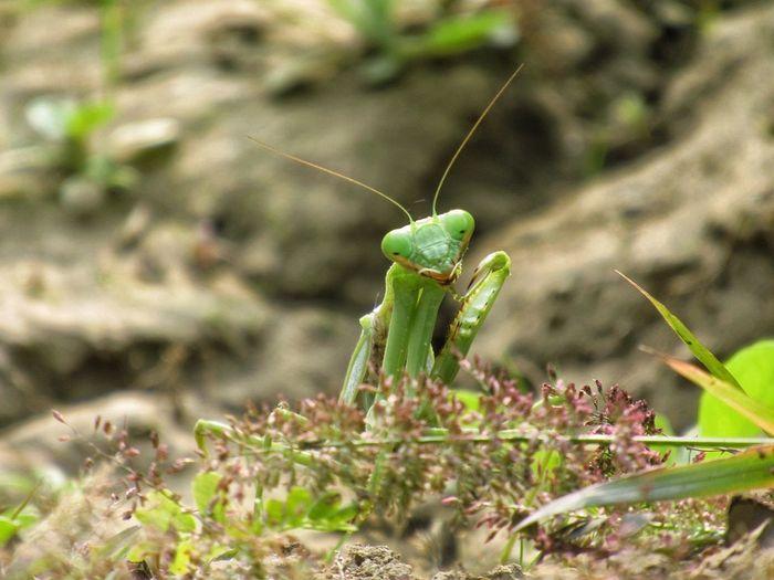 mantis pose 4