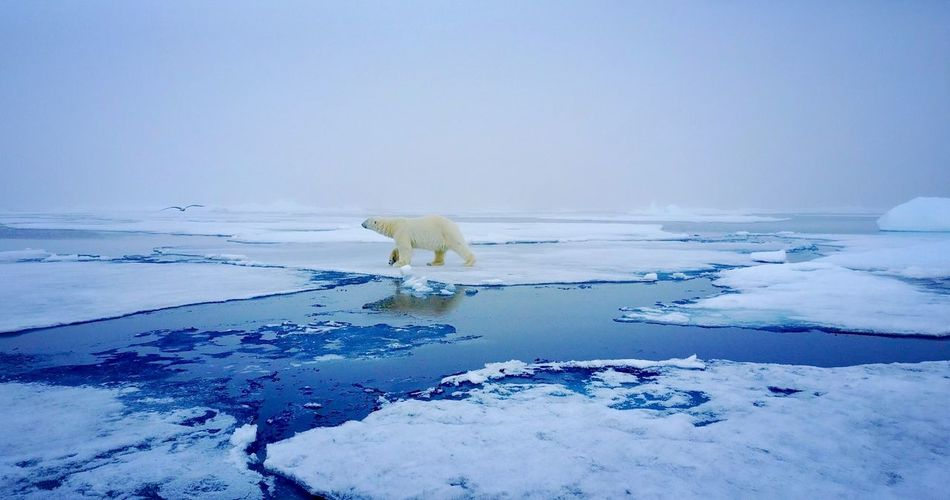 Always watching Expedition Ship SvalbardIslands Svalbard  Arctic Polar Bear Water Snow Cold Temperature Mammal Animal Winter Bear Ice Beauty In Nature Animals In The Wild Scenics - Nature