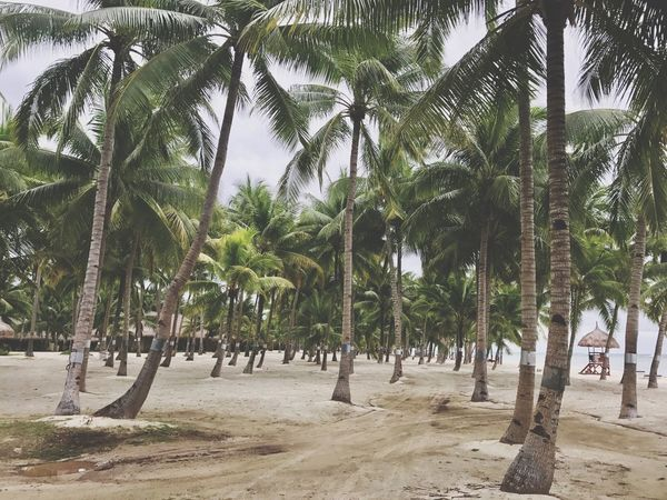 Palm Tree Tree Beach Nature Sand Growth Day Beauty In Nature Tree Trunk Tranquility Tranquil Scene Outdoors Scenics Real People Palm Frond