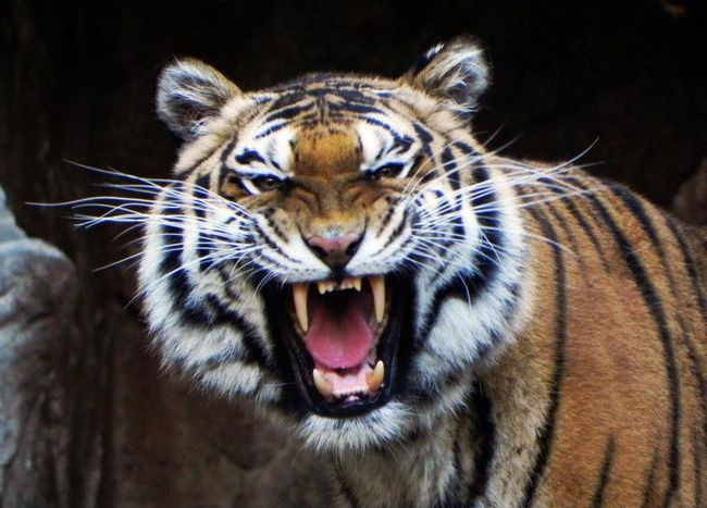 Female Tiger Animal Wildlife Animal Body Part Animal Animals In The Wild One Animal Black Background Animal Head  Mammal Roaring Tiger Endangered Species Feline Nature Close-up No People Animal Themes Day