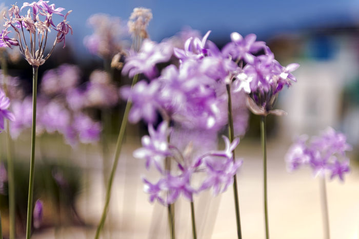 Beauty In Nature Close-up Day Flower Flower Head Flowering Plant Focus On Foreground Fragility Freshness Growth Inflorescence Lavender Nature No People Petal Pink Color Plant Plant Stem Purple Vulnerability