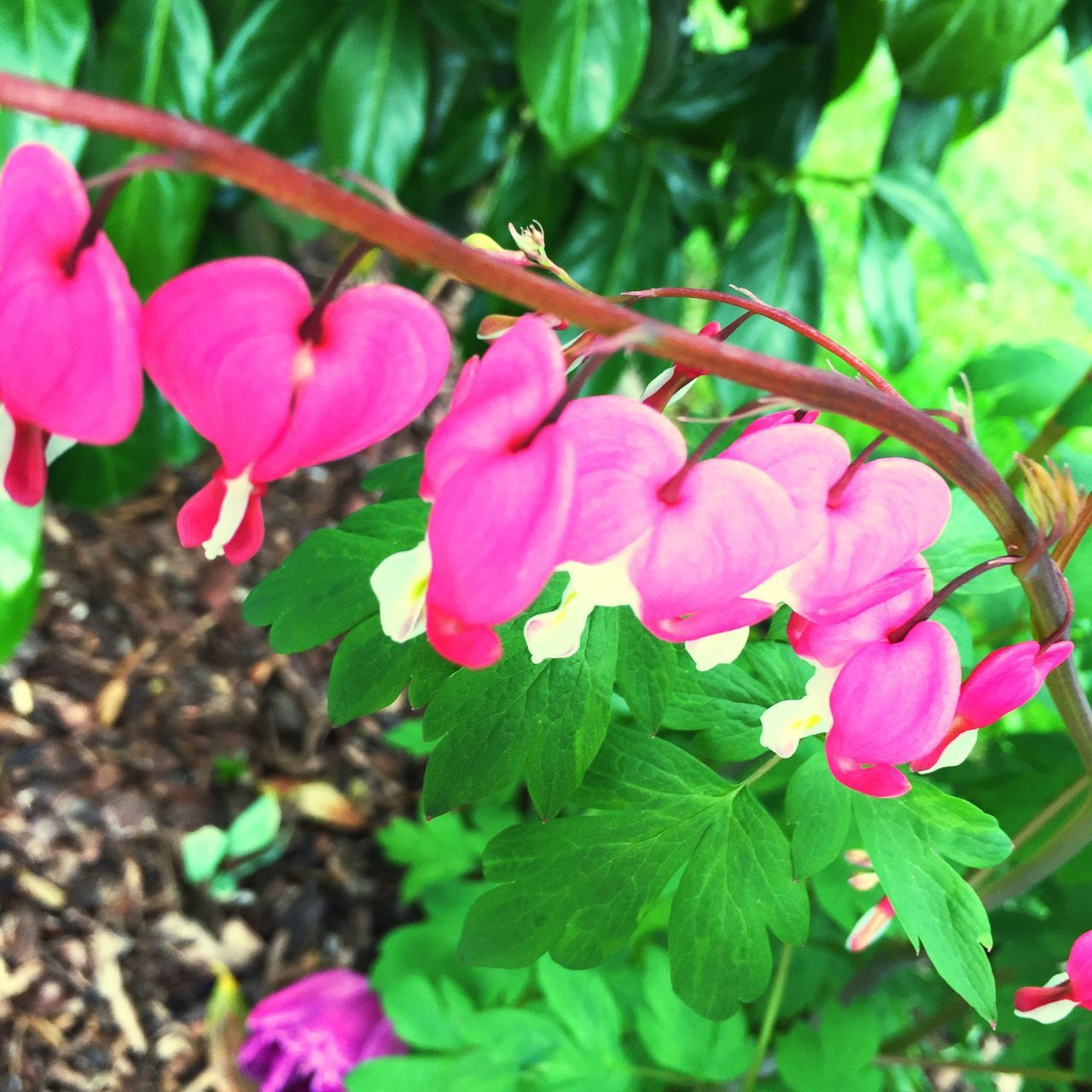 growth, pink color, nature, beauty in nature, flower, petal, leaf, fragility, plant, outdoors, freshness, no people, blooming, day, green color, close-up, flower head, tree, periwinkle
