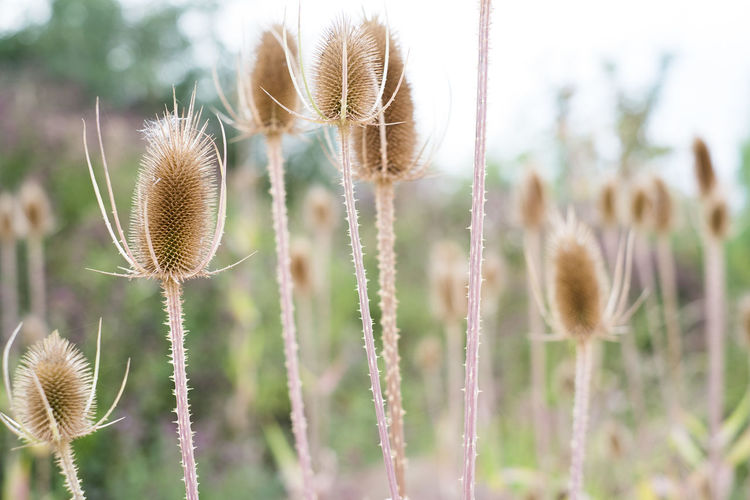 Beauty In Nature Close-up Day Field Focus On Foreground Fragility Freshness Growth Nature No People Outdoors Plant Thistle