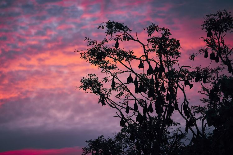 Low angle view of bats hanging on tree against sky during sunset