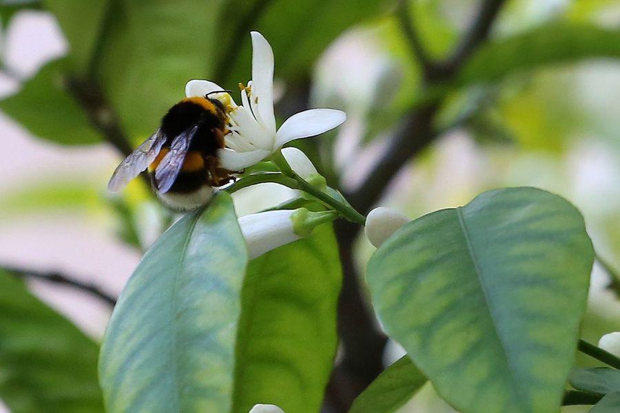 Cambio Climatico Primavera Anticipada Abejorro Flor