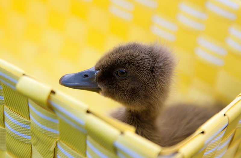 Close-Up Of Duckling In Basket