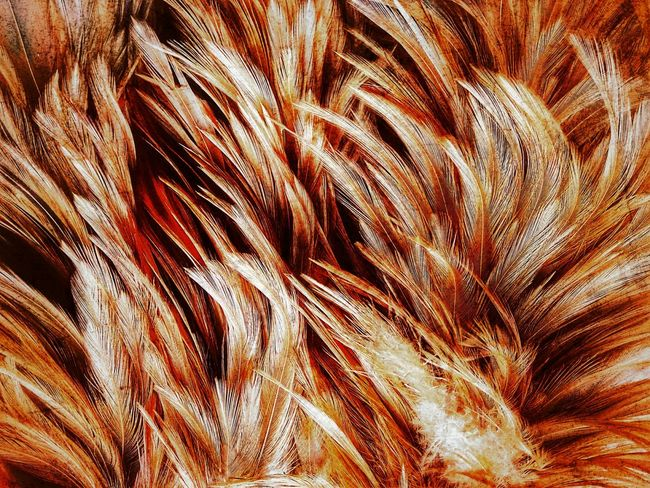 Feather  Feathers Feather Collection Nature Abstract Abstract Art Nature Art Abstract Photography Nature Art Photography Art Photography Imagination Imagination Photography Imagination Collection Close Up Photography Close Up Feather Close Up Feathers Of Chicken Feather Art Feather Color Colorful Feather Colorful Feathers