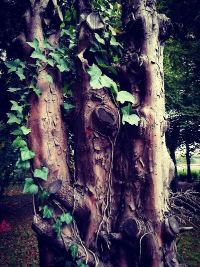 Tree Nature Outdoors Woodlandwalks Findingbeauty Autumn EyeEm Selects Adventure Capture The Moment Nature Photography Getoutandexplore Taking Photos Beauty In Nature Freshness Treelovers Ivy Leaves Greenery Bark Texture Close-up Greenivy Naturelovers