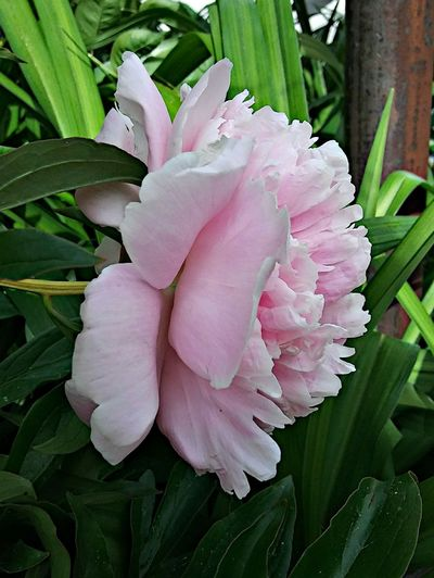So pink! ~ Nature_perfection Enjoying Life In Portland Maine USA Beauty In Nature Happiness No People Nature Lover Color Of Life Garden Plants Loving The Landscape Leaves Shades Of Green  In My City Flower Head Flower Peony  Leaf Petal Pink Color Water Close-up Plant Blossom