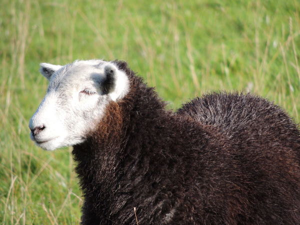 Animals In The Wild England Countryside England 🌹 Animal Animal Themes Animal Wildlife Animal_collection Animals Animals In The Wild Close-up Contryside Countryside Day Domestic Animals Field Fields Focus On Foreground Grass Mammal Nature No People One Animal Outdoors Sheep Sheep🐑