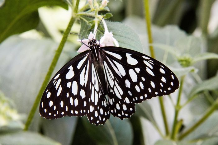 Schachbrett Schmetterling - chessboard butterfly Butterfly - Insect Insect Animal Themes One Animal Animals In The Wild Animal Wildlife Butterfly Animal Wing Nature Animal Markings Focus On Foreground Close-up Fragility Beauty In Nature Day No People Outdoors Plant Leaf Pollination Ladyphotographerofthemonth Black And White Butterfly Schachbrettfalter Chessboard Pattern