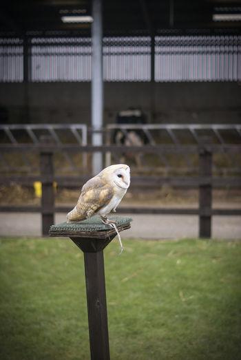 Animal Themes Animal Wildlife Barn Owl Day Flight No People One Animal Outdoors