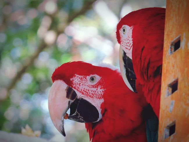 Bird Close-up Red Animal Themes Beak Animals In The Wild Parrot Outdoors No People Day Nature Trip Freedom For Animals Fragility Animals In The Wild Animal Wildlife Freedom For All Beauty