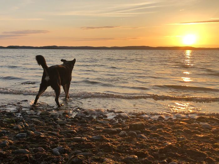Sunset Sky Water Pets One Animal Dog Domestic Beach Land Canine Animal Sea Horizon Over Water Nature Orange Color Beauty In Nature