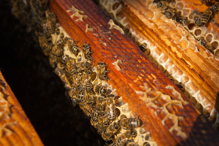 Animal Animal Themes Animal Wildlife Animals In The Wild APIculture Beauty In Nature Bee Beehive Close-up Group Of Animals Honey Bee Honeycomb Insect Invertebrate Large Group Of Animals Nature No People Pattern Selective Focus Wood - Material