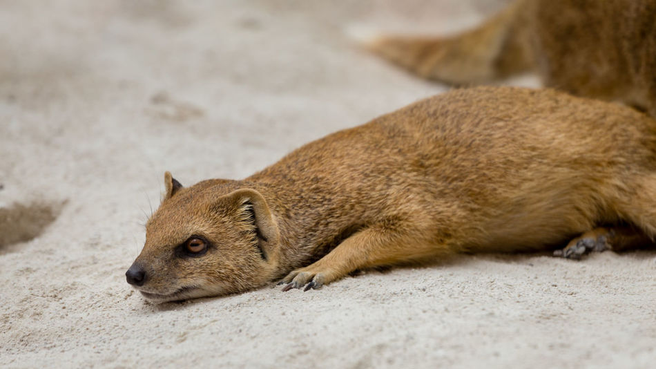 Yellow mongoose Animal Animal Themes Animals Close-up Lying Down Nature No People One Animal Relaxing Tired Yellow Mongoose Zoo Zoo Animals