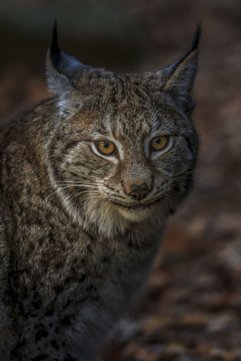 Eye contact with a Swedish lynx., a great experience. One Animal Mammal Animal Wildlife Portrait Animals In The Wild Close-up Animal Body Part No People Looking At Camera Focus On Foreground Vertebrate Day Land Looking Nature Animal Eye Whisker Sweden Lynx Lynx Lynx Eye Contact