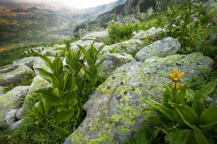 Close-up of flowers growing on rock