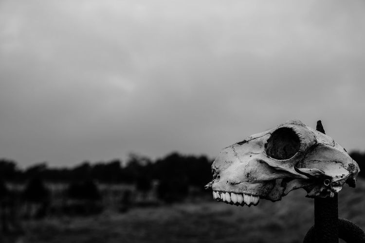 Animal Body Part Animal Head  Animal Skull Blackandwhite Bnw Close-up Dead Death Domestic Animals Focus On Foreground Landscape Mammal Nature No People One Animal Outdoors Skull Sky