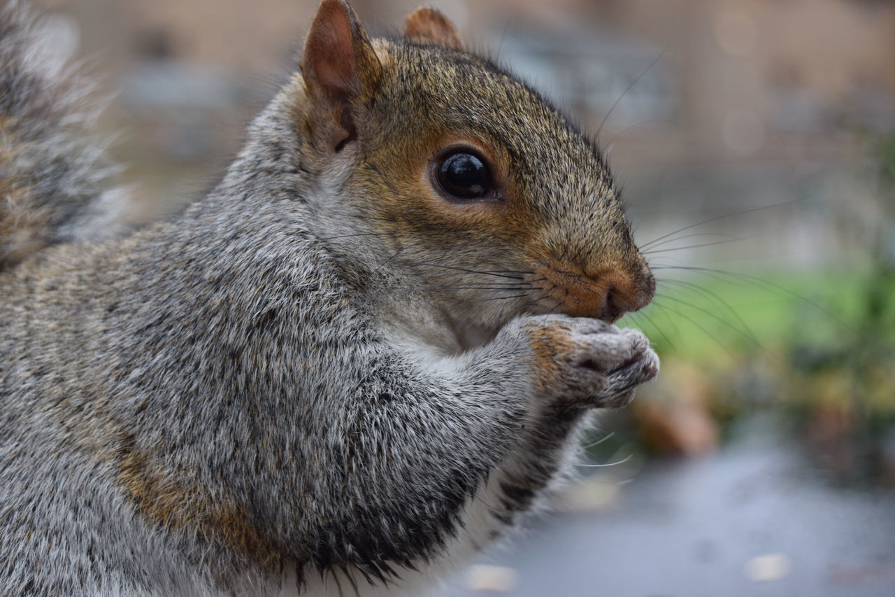 one animal, focus on foreground, animal themes, animals in the wild, squirrel, mammal, close-up, animal wildlife, no people, nature, day, outdoors