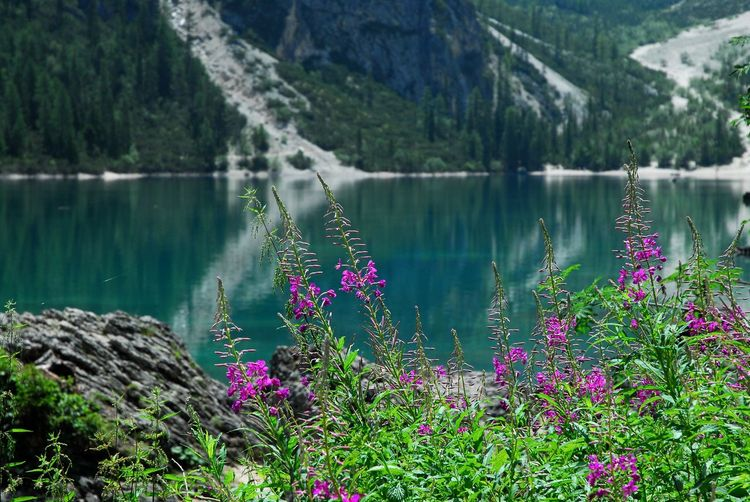 Beautiful Fucsia Flowers in Dolomites, Italy Alpine Flowers Dolomites, Italy Beauty In Nature Day Fucsia Flowers Growth Lupine Flowers Nature No People Outdoors Pink Color Plant Purple South Tyrol Summer Tranquility Water