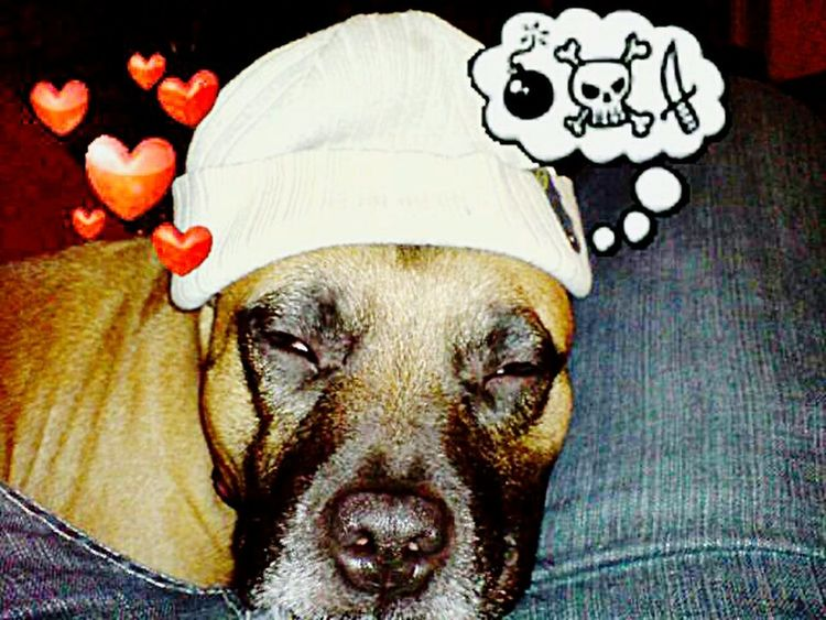Sweet Dreams Dreaming Dog Dreaming Of Cats Dog Love Staffordshire Bull Terrier Staffies There Softer Than You Think Cute Pets Sleeping Beauty Awww So Cute <3 I Love My Dog ❤