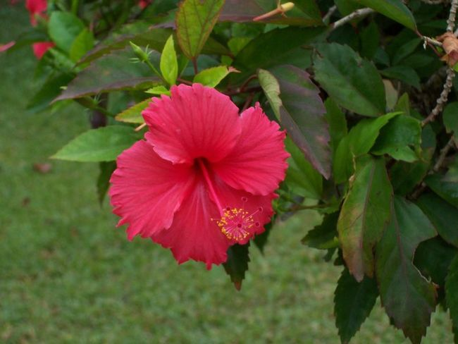 Flowers Flower Collection Hibiscus Flower Photography Nature Photography Naturelovers Enjoying The Flower@ My Backyard My Garden Floweshots Nature_collection