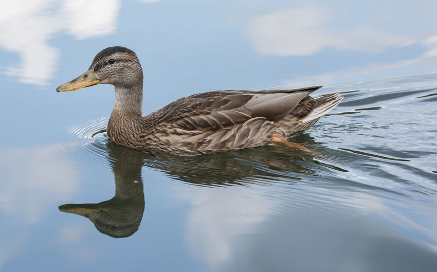 Side view of a duck swimming in lake