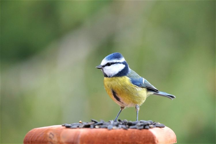 Close-up of eurasian blue tit on wooden post