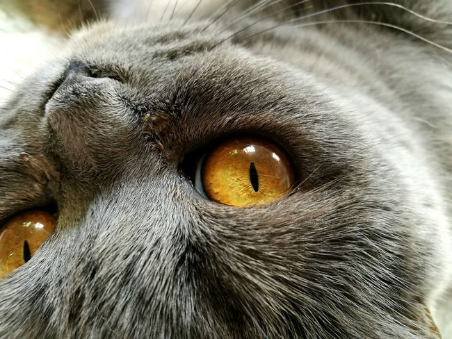 Looking At Camera Close-up Animal Themes Animal Eye Cats Of EyeEm Eye British Blue Pets Portrait EyeEm Animal Lover