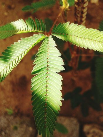 (Mimosa) touch me not plantGreen Color Leaf Nature No People Close-up Plant Growth Outdoors Day Beauty In Nature Freshness Fern Fragility EyeEm Interiors Eye4photography  Sections Nature Plant Growth Freshness EyeEmBestPics Eyemphotography EyeEmbestshots Sunlight Be. Ready.