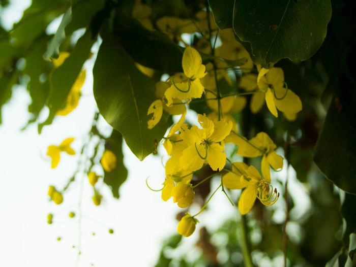 Khonkaenphoto Flower Head Flowering Plant Yellow Flower Growth Leaf Multiply