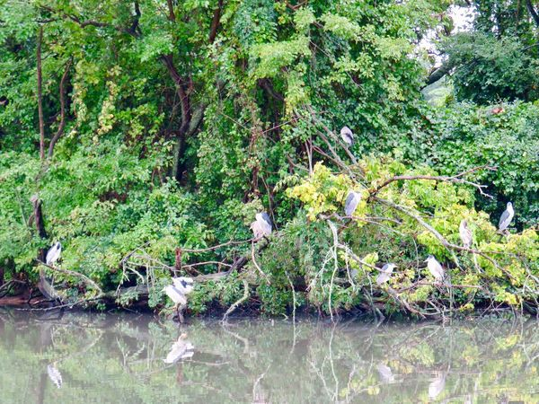 Group of heron perched in the trees at the pond green leafy trees water reflections Green Color Growth Day Scenics - Nature No People