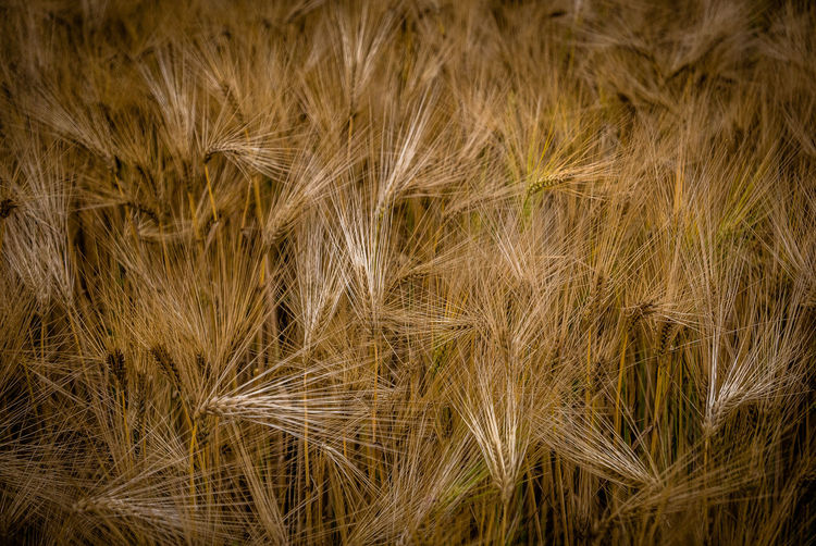 Backgrounds Plant Full Frame Cereal Plant Nature Crop  No People Agriculture Growth Close-up Land Rural Scene Field Landscape Beauty In Nature Barley Farm Grass Day Wheat Wind