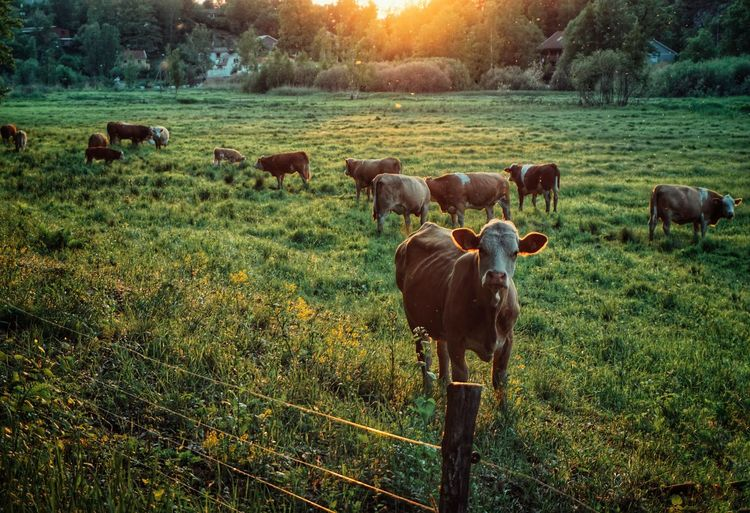 2019 Niklas Storm Juni Tree Rural Scene Grazing Field Sunset Grass Sky Landscape Livestock Farm Animal Domestic Cattle Group Of Animals Cow The Great Outdoors - 2019 EyeEm Awards My Best Photo