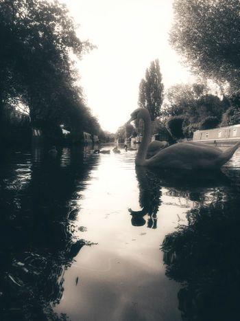 Relaxing Summer Nature Beauty Enjoying The Sun Taking Photos Barge Trees Canal Wildlife Pretty Fresh Air Nature Photography Wildlife Photography Beauty In Nature Swan Family Wildlife & Nature Summer Views