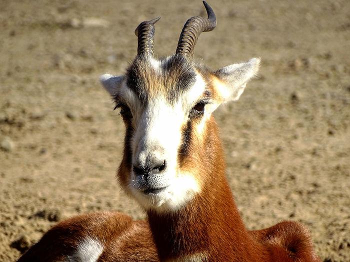Portrait of goat on sand
