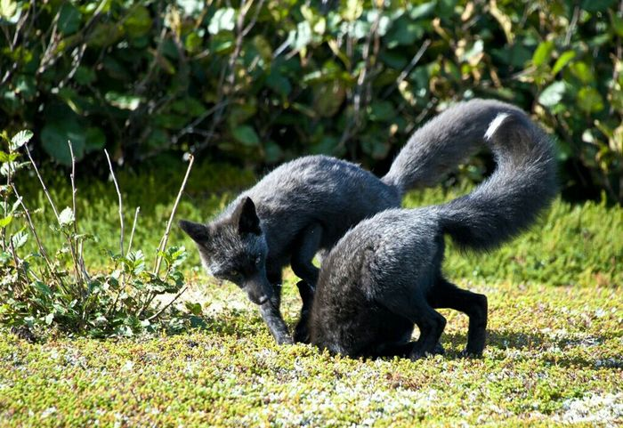 Two black foxes playing in Newfoundland! Taking Photos Check This Out Enjoying Life Fox🐺 Fox Newfoundland Saint Anthony Photography Foxy Animals